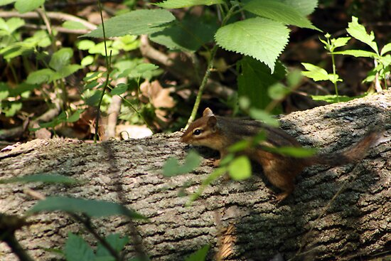 Chipmunk II by Erika Rathka
