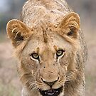 Juvenile Male Lion  by Michael  Moss