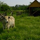 Hungarian breed_Grey cattle by ambrusz