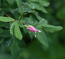 Wild Rose in the Rain by Linda Davidson