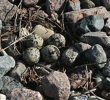 Killdeer Eggs by eaglewatcher4