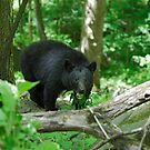 Black Bear II by Gary L   Suddath