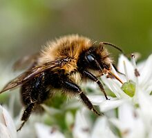 Bumble Bee by Claudia Kuhn