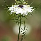 White Nigella Damascena, Love-in-a-mist or Devil-in-the-Bush by Debbie Moore