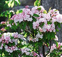 Mountain Laurel Blossoms by Laurel Haarer