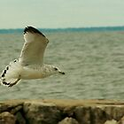 Ring-billed Gull in Flight by eaglewatcher4