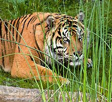 Crouching Tiger by photodivaanna