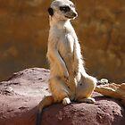 Meerkat by Tanya Rossi