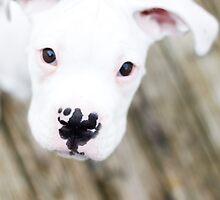 white boxer puppy by sara montour