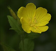 Yellow Evening Primrose by Barbara Zuzevich