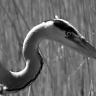 Heron in Black & White  by Ross Ellis