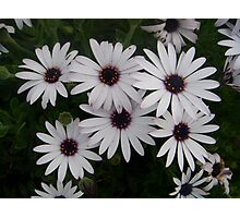 Six Pack of Daisies Photographic Print