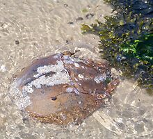 Horseshoe Crab by Dandelion Dilluvio