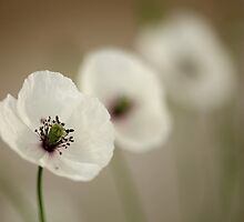 White Poppy 3 by VladimirFloyd