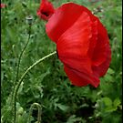Red Poppy by Elizabeth Burton
