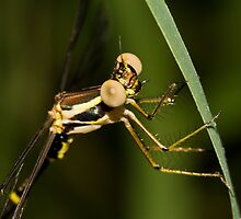 Damselfly by Jason Asher