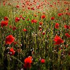 Poppy dream by Tomas Kaspar