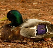 Mallard Drake at Swan Lake by Debbie Moore