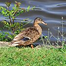 A duck at Chateau Bretesh by Alan Gillam