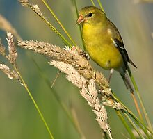 American Goldfinch (Female Summer Plumage) by Michael Mill