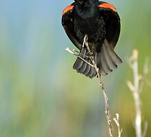 Red Winged Blackbird Singing by Michael Mill