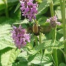Hummingbird Clearwing Moth by rasnidreamer