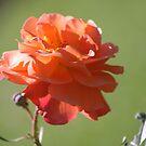 rose of beauty by flipperflopp
