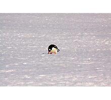 Gentoon Penguin Photographic Print