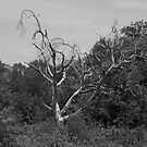 An Old Dead Tree by Jeffery W. Turner