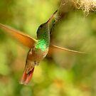 Berylline Hummingbird in Flight by Diana Graves Photography