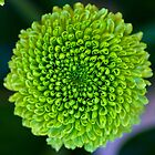 Chrysanthemum Dendranthema by Kevin North