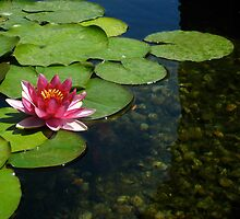 Waterlily in a fountain by MATHEW MATHEW