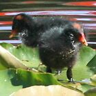 dusky moorhen chicks by paulinea