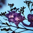 Jacarandas against a Blue Sky by Lozzar Flowers & Art