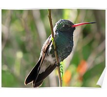 Broad-billed Hummingbird ~ Male Poster