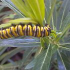 Cinnabar Moth Caterpillar black & yello by Camelot