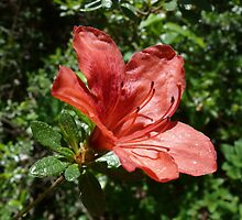Single Red Azalea - Kinney Garden - © 2010 by Jack McCabe