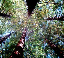 Pine Tree Canopy by Virginiad