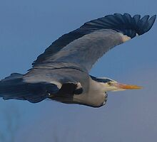Heron Inflight by Alexa Pereira
