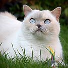 Kitty with feather toy by LisaRoberts