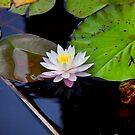 Water Lilly by martinilogic