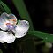 Alba Spiderwort - Last Light by T.J. Martin