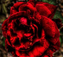 Red Rose by Anamicks