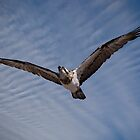 Osprey in Flight by John Quixley