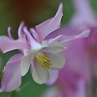 Aquilegia by Heather Thorsen