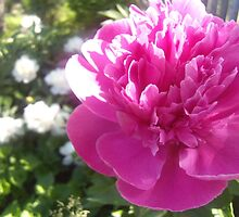 Pink and White Peonies by Cherie Balowski
