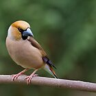 Hawfinch Looking back by Janika