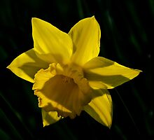 Daffodil Affodell by David  Whitby