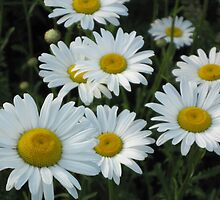 Daisies - A Few of Thousands by teresa731