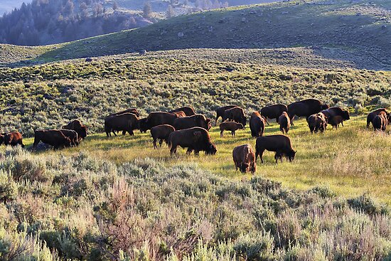 Buffalo Herd in Yellowstone NP  by Teresa Zieba